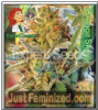 Expert California Orange Skunk Fem 5 Weed Seeds